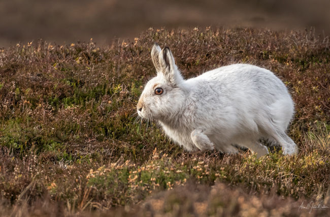Leaping Mountain Hare