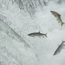 Leaping  Salmon  Trio