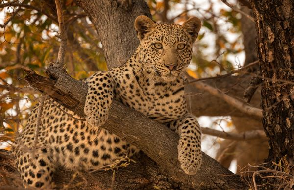 Leopard-in-Tree-1