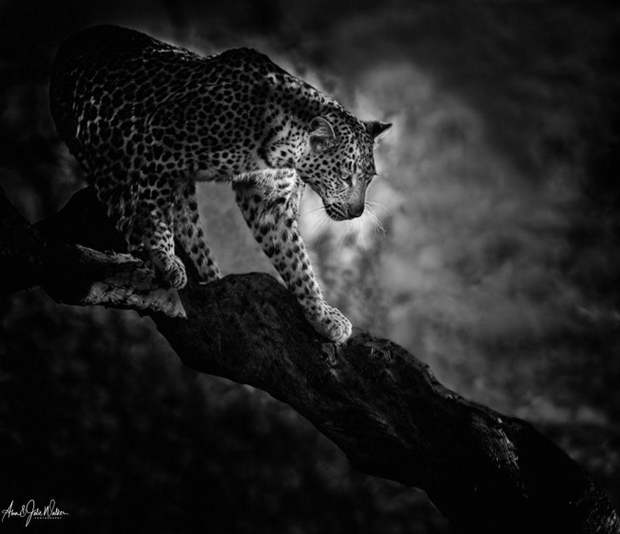 Leopard Leaving the Tree 3 mono