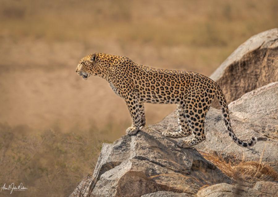 Leopard Surveying the Landscape