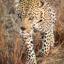 Leopard about to pounce-2