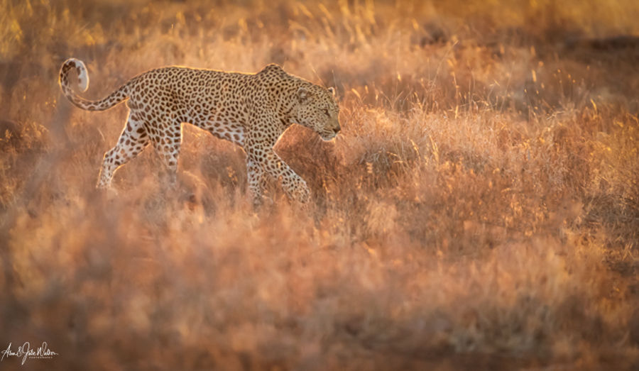 Leopard in early morning Light 2