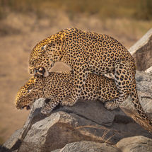 Leopards Mating 4-2