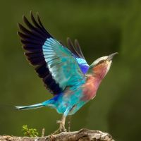 Lilac-Breasted-Roller-Take-off