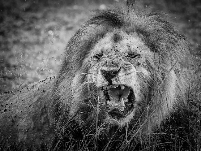 Lion Roar mono print