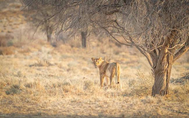 Lioness in early morning light