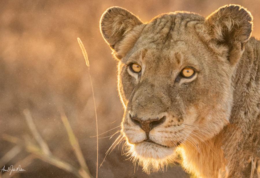 Lioness in grasses Portrait