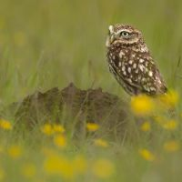 Little-Owl-in-the-Grass