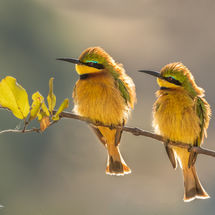 Little Bee eaters