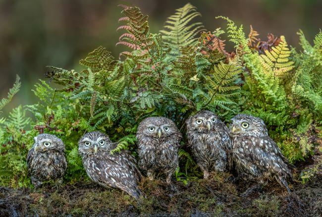 Little Owl Family 2-2