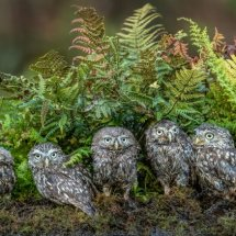 Little Owl Family 2-2