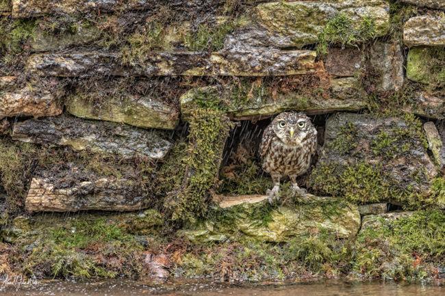 Little Owl Shelter
