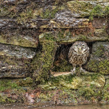 Little Owl Shelter