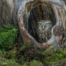 Little Owl in Tree Stump
