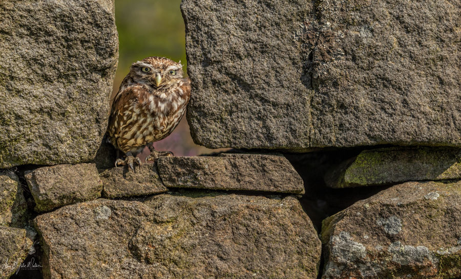 Little Owl in Yorkshire Stone Wall
