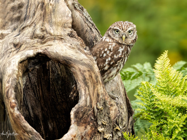 Little Owl on the lookout