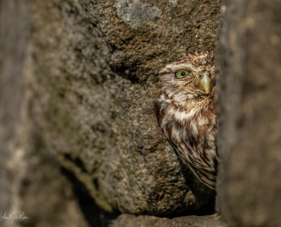 Little Owl peeping out ot the wall