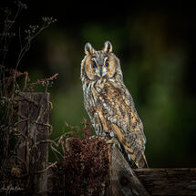 Long eared Owl Hunting at Dusk with kill