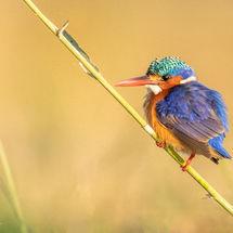Malachite Kingfisher with bad background 4