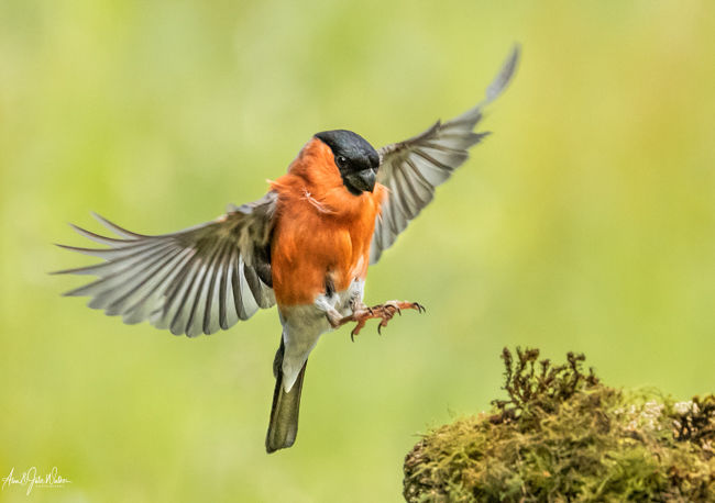 Male Bullfinch in flight