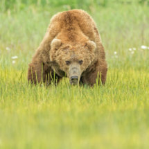 Male  Grizzly  Preparing  to  Charge
