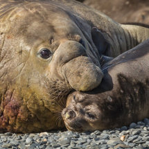 Male and  Female  Elephant  Seal