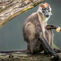Mangabey Monkey 1