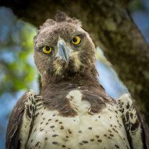 Marshal Eagle
