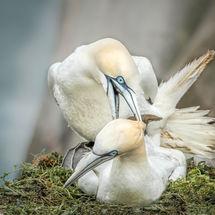 Matting Gannets