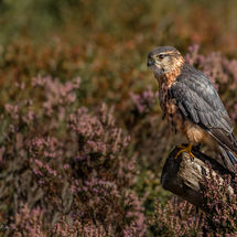 Merlin in the Heather