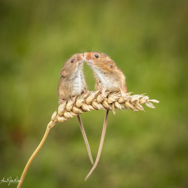 Mouse Affection