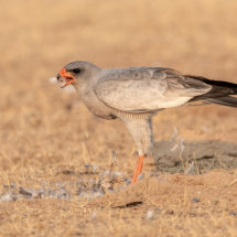 Pale Chanting Goshawk on Kill