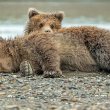 Peek aboo Alaska Bears Sept 2014-5715