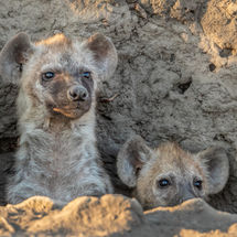 Peeping out of the Hyena Den