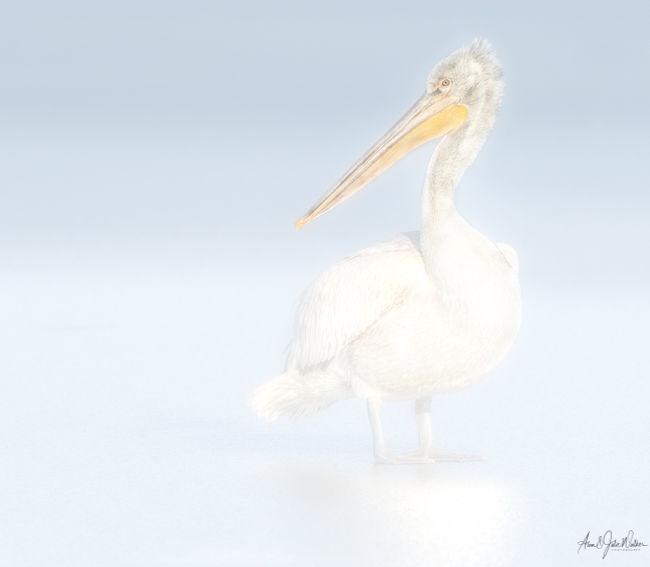 Pelican Portrait 1