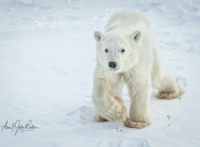 Polar Bear Cub Trying to catch up Mum