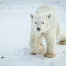 Polar Bear Cub Trying to catch up Mum