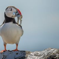 Puffin-with-Sandeels