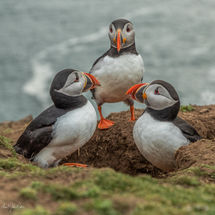 Puffin Meeting