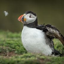 Puffin and Feather 2-2