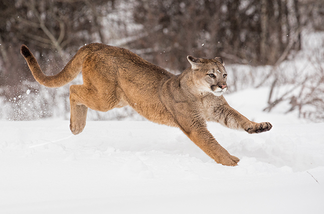 Puma 8 sharpened