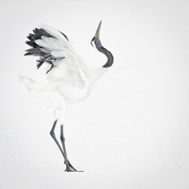 Red Crowned Crane Study-2