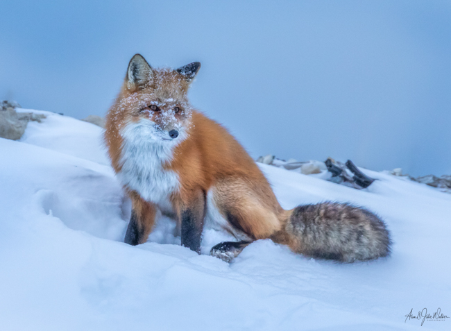 Red Fox on Rubbish Tip