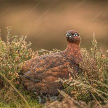 Red Grouse in rain