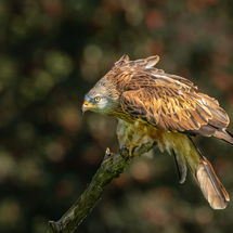 Red Kite Perching