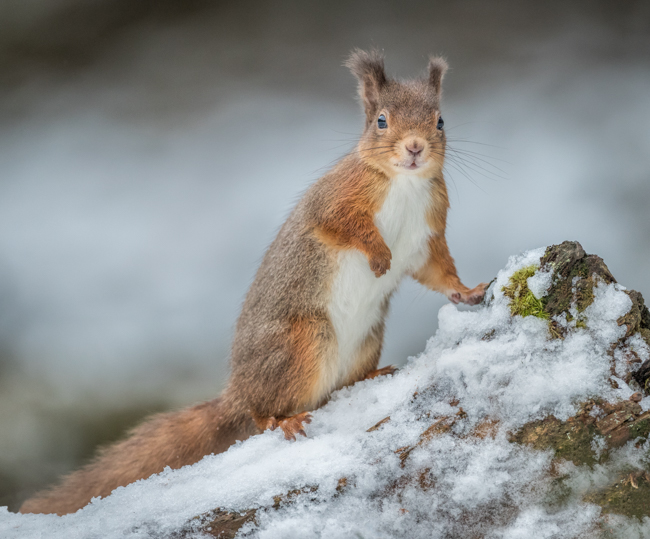 Red Squirrel looking for nuts in the snow