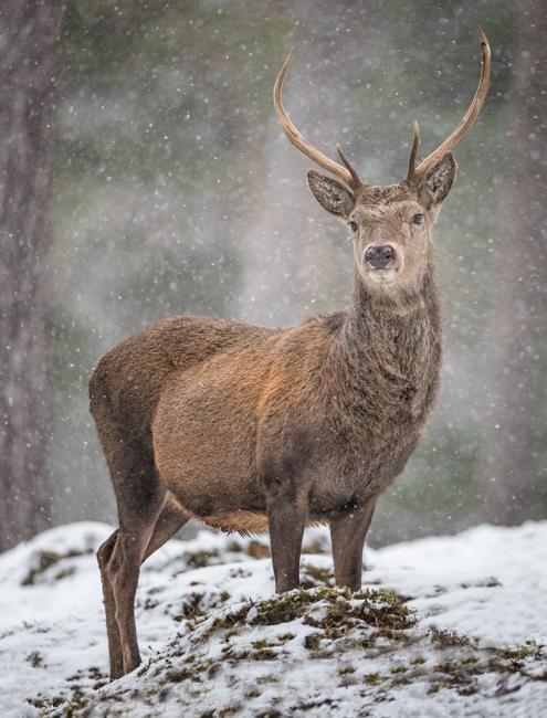 Red  Deer  Stag  1