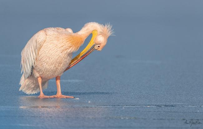 Rose Pink Pelican