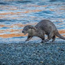Running Otter
